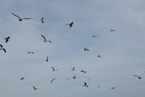 brighton-birds